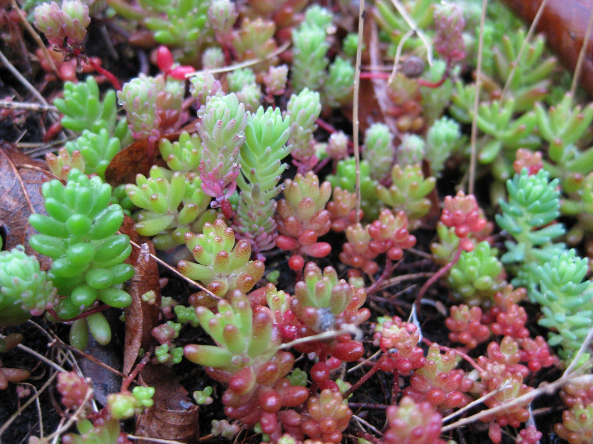 Planten Sedum album coral carpet