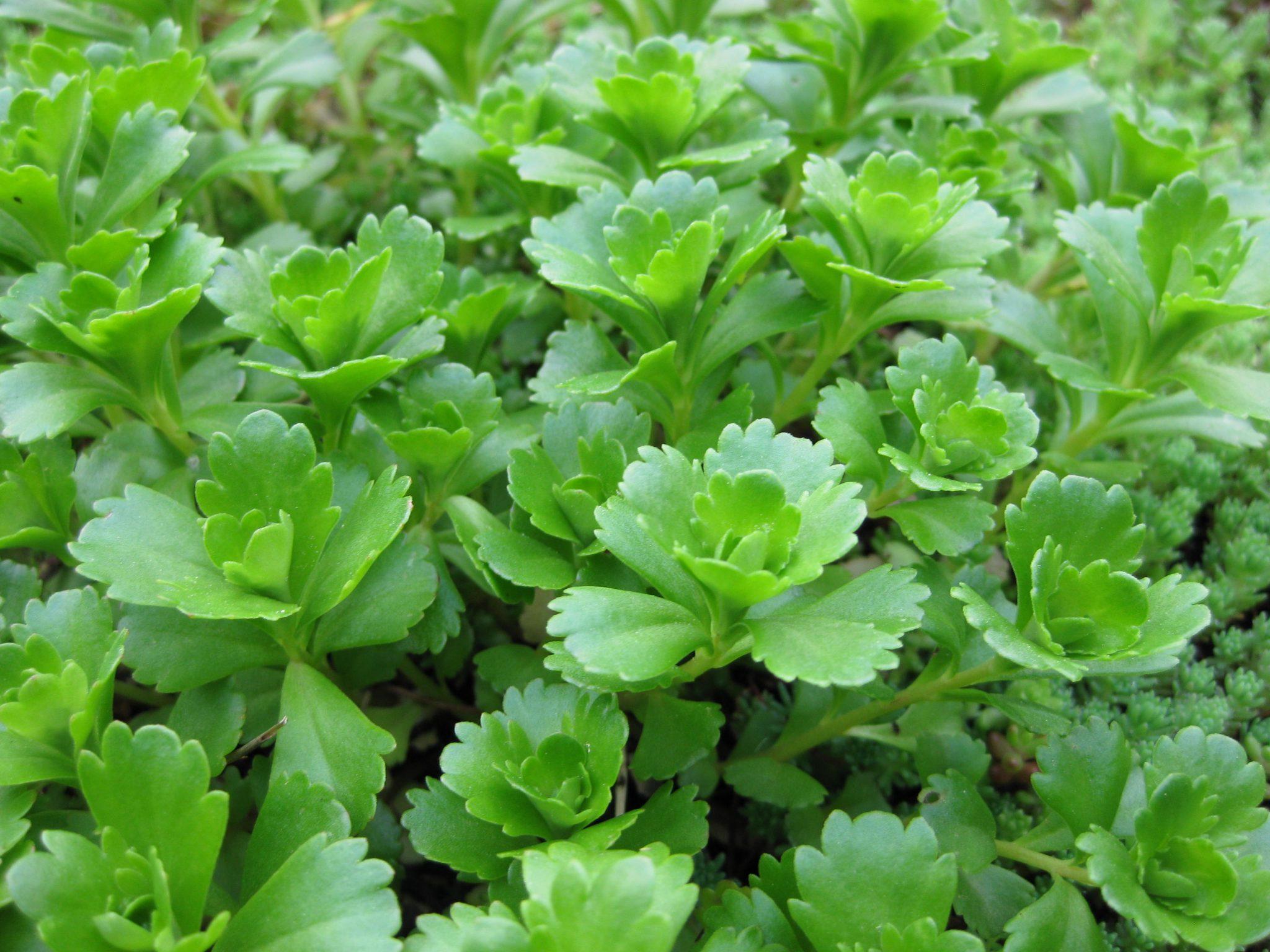 Planten Sedum Spurium