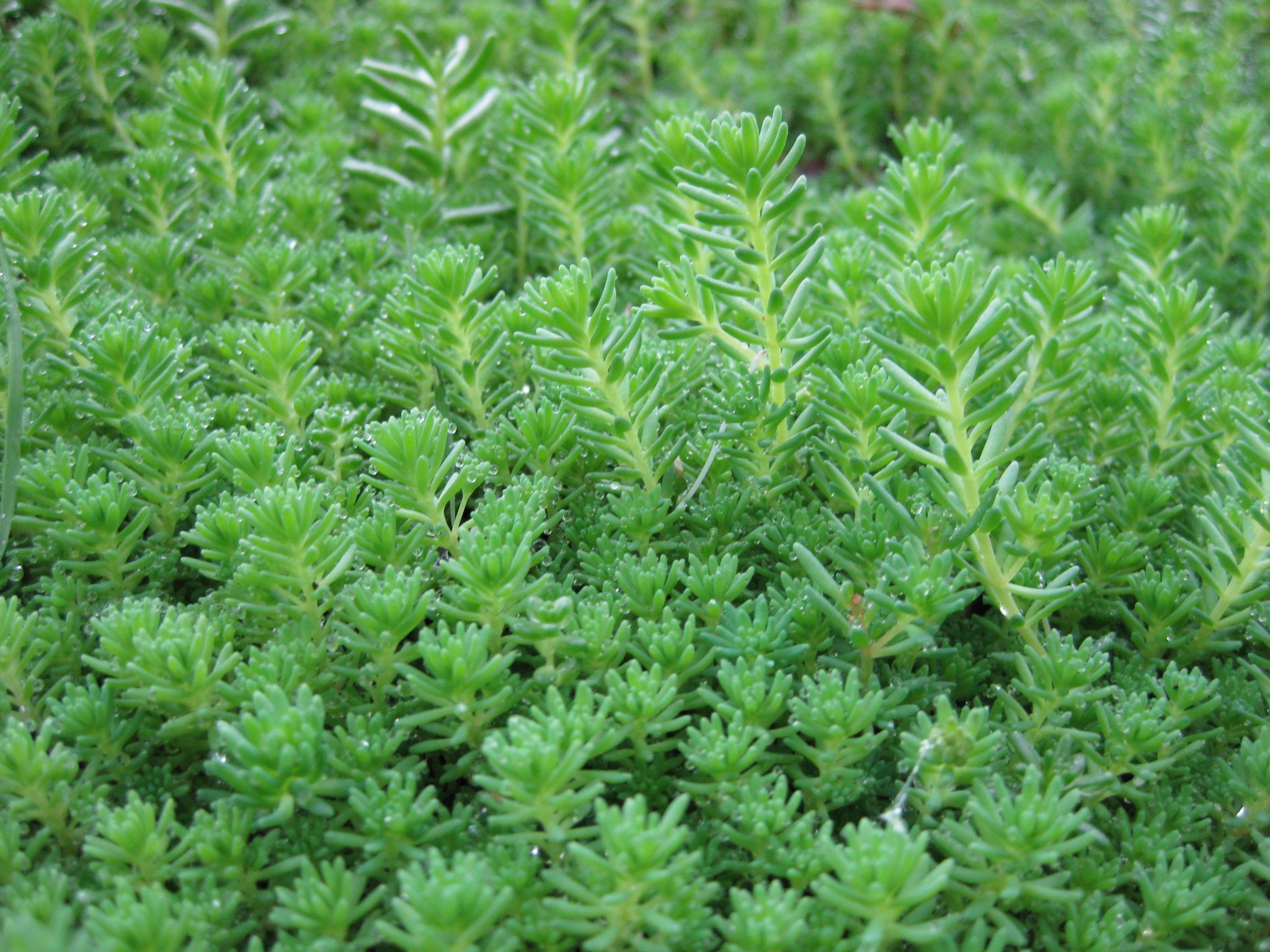 Planten Sedum Aizoon