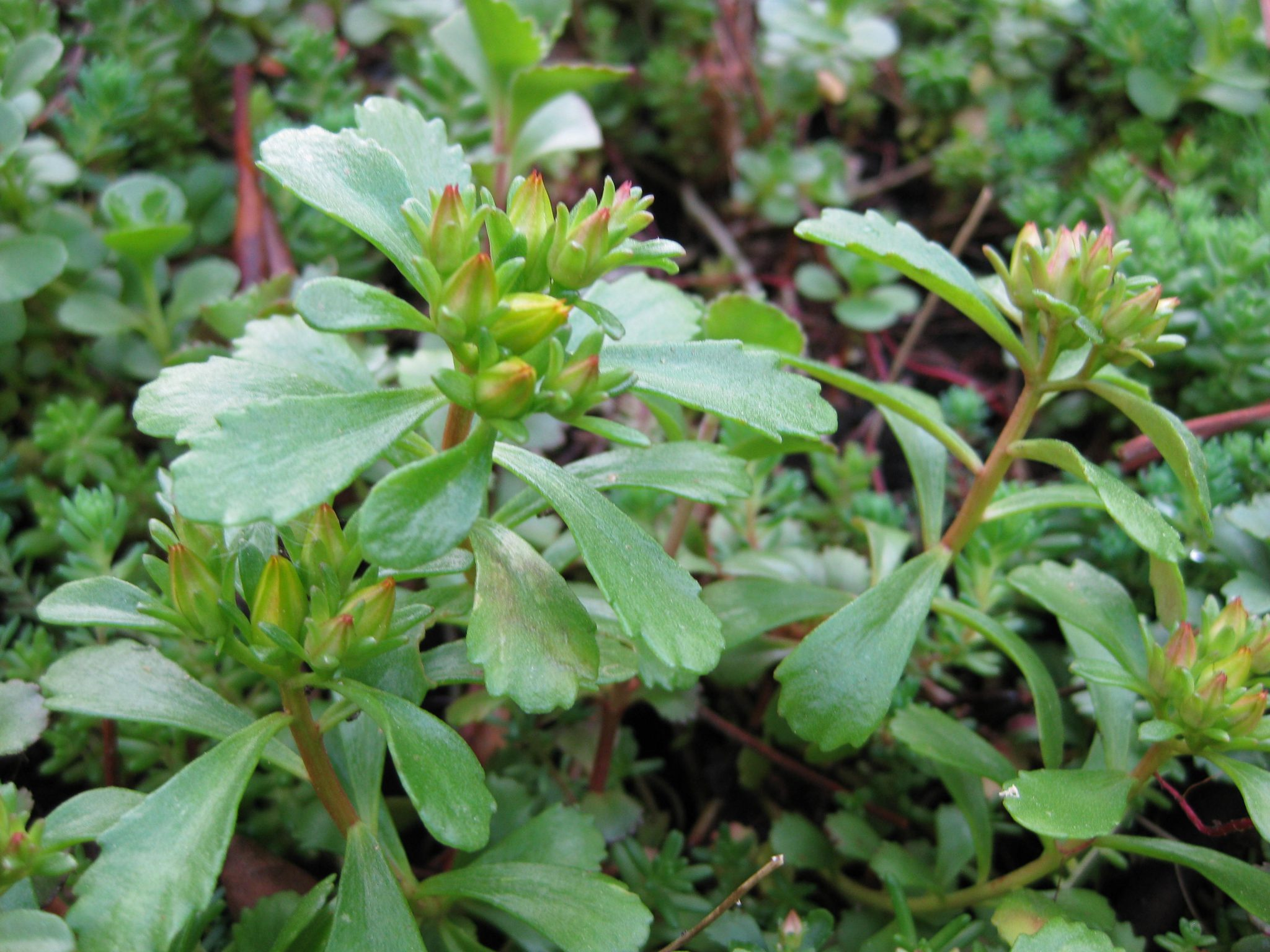 Planten Sedum Lydium